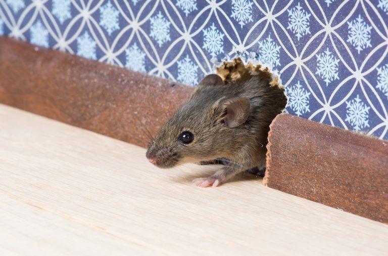 rat in Home
